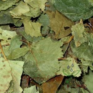 Birkenblätter / Betulae Folia 100g